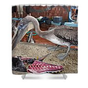 Brown Pelican At The Fish Market Shower Curtain