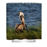 Brown Pelican Fledgling Shower Curtain