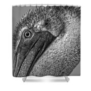 Brown Pelican In Black And White Shower Curtain