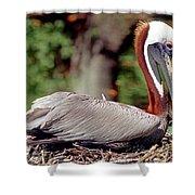 Brown Pelican Incubating Eggs Shower Curtain