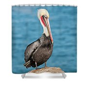 Brown Pelican Pelecanus Occidentalis Shower Curtain