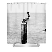 Brown Pelican - Bw Shower Curtain