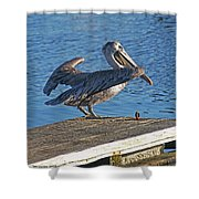 Brown Pelican Takes Flight Shower Curtain
