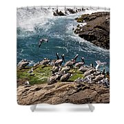 Brown Pelicans And Gulls On The Reef Shower Curtain