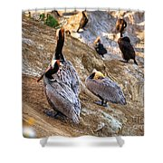 Brown Pelicans At Rest Shower Curtain