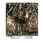 Buck In The Woods Shower Curtain