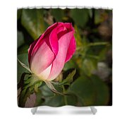 Budding Pink Rose Shower Curtain