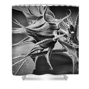 Budding Sunflower In Black And White Shower Curtain
