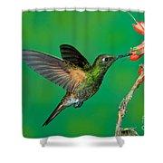 Buff-tailed Coronet Shower Curtain
