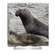 Bull Approaches Cow Seal Shower Curtain by Mark Newman
