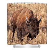 Bull Bison Running In Yellowstone National Park Shower Curtain