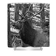 Bull Elk Bw Shower Curtain