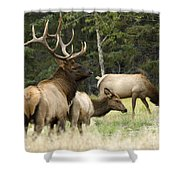 Bull Elk With His Harem Shower Curtain by Bob Christopher