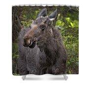 Bull Moose   #5654 Shower Curtain