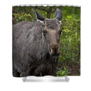 Bull Moose   #5712 Shower Curtain