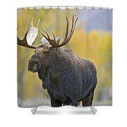 Bull Moose In Autumn Shower Curtain