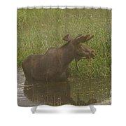Bull Moose Looking Around  Shower Curtain