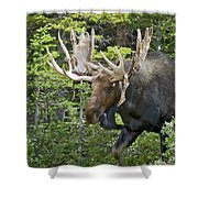 Bull Moose Shedding Velvet Shower Curtain