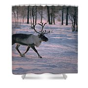 Bull Reindeer In  Siberia Shower Curtain