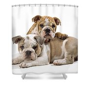 Bulldog Puppies, One On Top Of The Other Shower Curtain