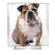 Bulldog Sitting Shower Curtain