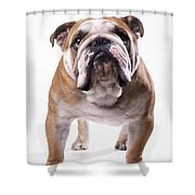 Bulldog Standing, Facing Camera Shower Curtain