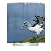 Bullers Albatross Spreading Wings Shower Curtain