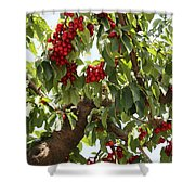 Bumper Crop - Cherries Shower Curtain