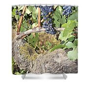 Bunches Of Red Wine Grapes Growing On Vine Shower Curtain