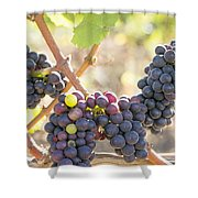 Bunches Of Red Wine Grapes Hanging On Grapevine Shower Curtain