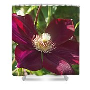 Burgundy Clematis Profile   # Shower Curtain