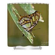 Butterfly Siproeta Stelenes Shower Curtain