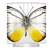 Butterfly Species Cepora Judith  Shower Curtain