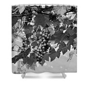 Bw Hanging Thompson Grapes Sultana Poster Look Shower Curtain