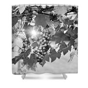 Bw Lens Flare Hanging Thompson Grapes Sultana Shower Curtain