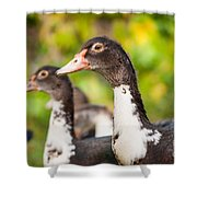 Young Muscovy Duck Or Cairina Moschata Watching  Shower Curtain