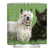 Cairn Terrier And Scottish Terrier Shower Curtain