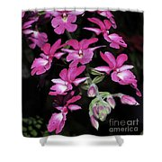 Calanthe Rubens #1 Of 2 Shower Curtain