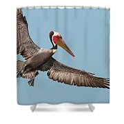 California Brown Pelican With Stretched Wings Shower Curtain