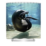 California Sea Lion Yawning Shower Curtain by Hiroya Minakuchi