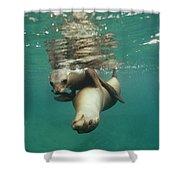 California Sea Lions Playing Sea Shower Curtain