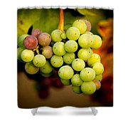 California Winery Grapes Shower Curtain