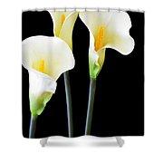 Calla Lilies In Triplicate Shower Curtain