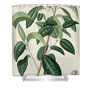 Camellia Thea Shower Curtain by LFJ Hoquart
