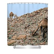 Camels At The Israel Desert -1 Shower Curtain