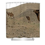 Camels At The Israel Desert -2 Shower Curtain