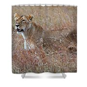 Camouflaged Female Lion In Grass Shower Curtain