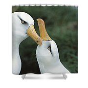 Campbell Albatrosses Courting Campbell Shower Curtain
