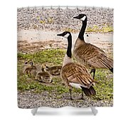 Canada Geese And Goslings Shower Curtain