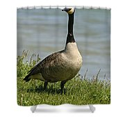 Canada Goose Pictures 214 Shower Curtain